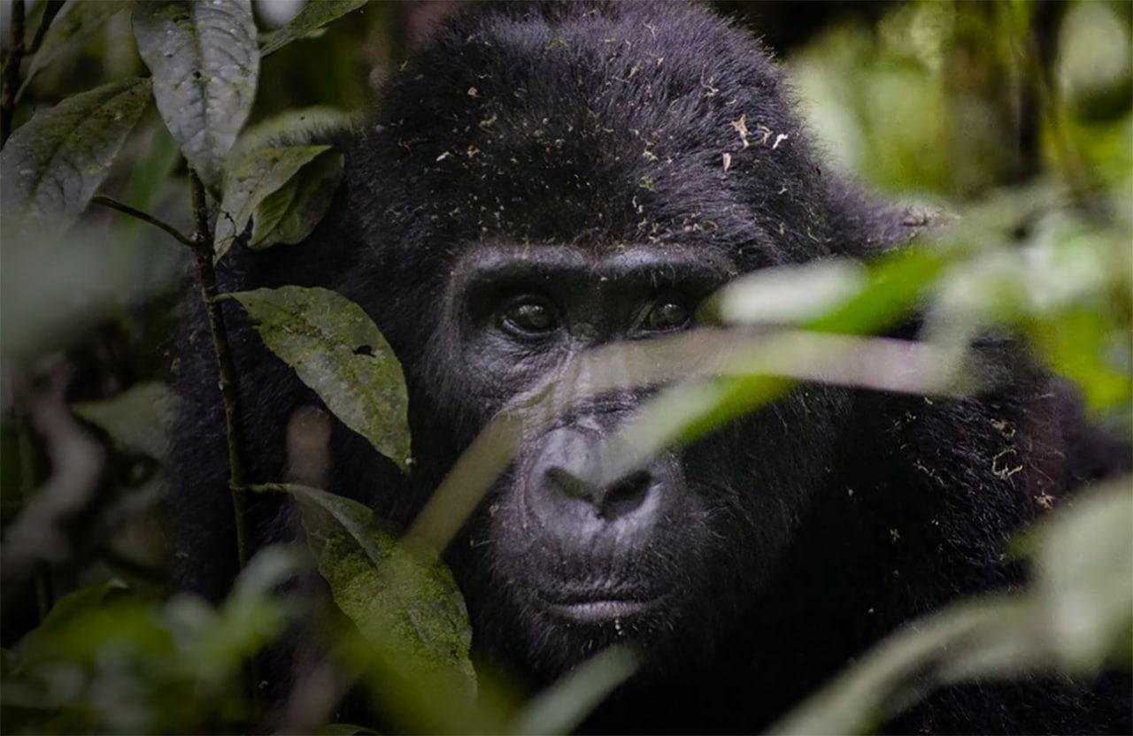 fjellgorilla uganda